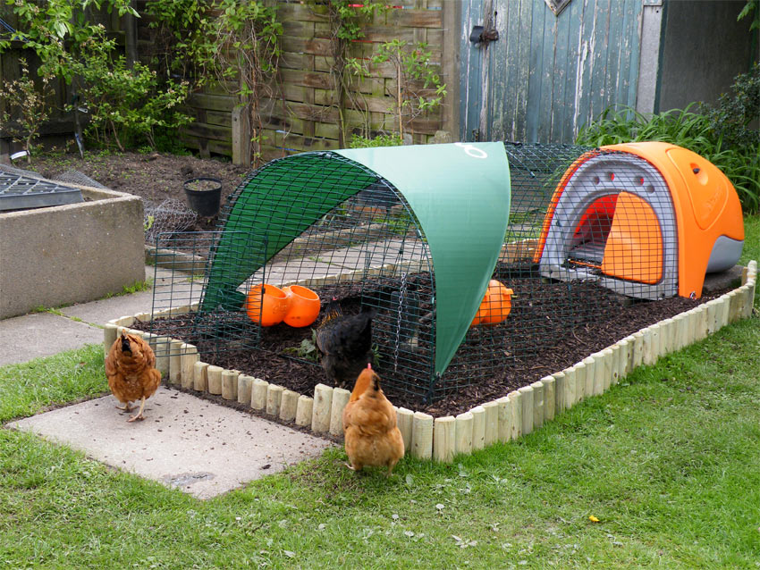 Bringing your chickens home chicken care