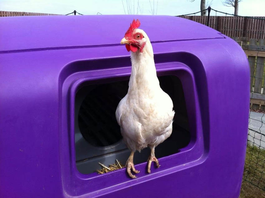 A beautiful hen named Princess Grace loves waking up in her Eglu Cube