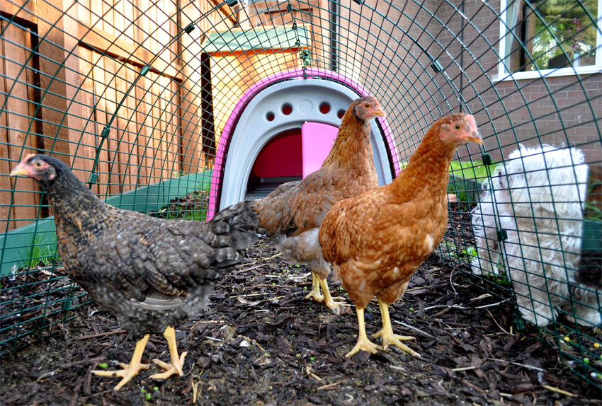 Three chickens enjoying their Eglu Classic chicken coop in pink