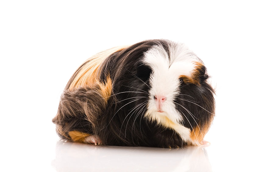 how to look after a guinea pig