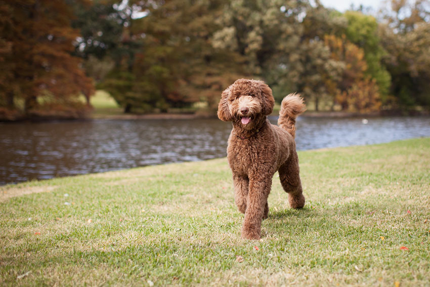 Crossbreed Labradoodle walking by river