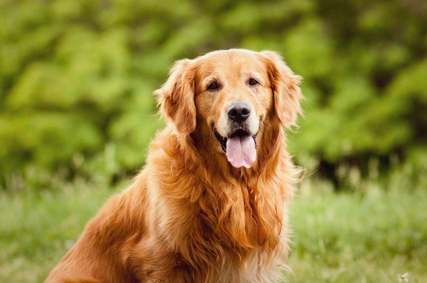 Best Dog Food For Shedding Lab