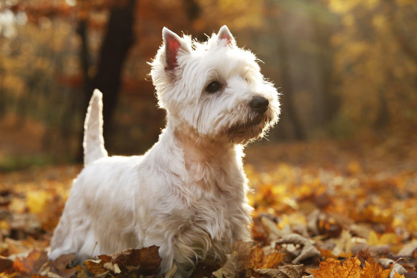 A West Highland Terrier with a beautiful white coat