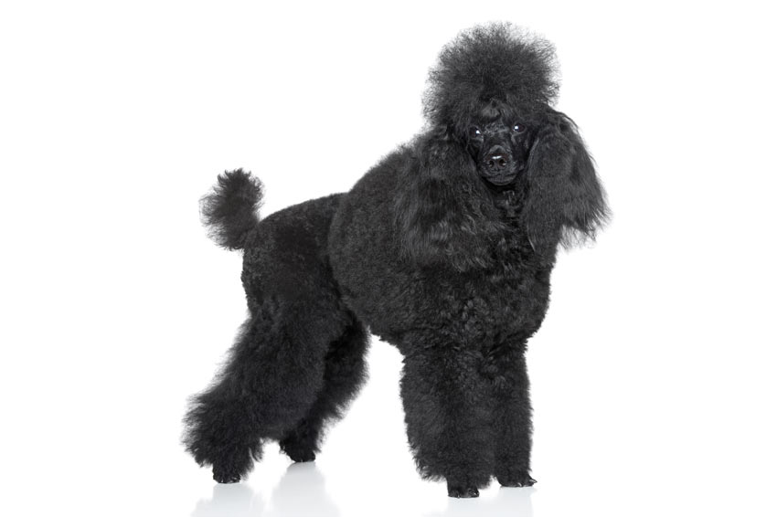 Big Black Curly Haired Dog Breeds