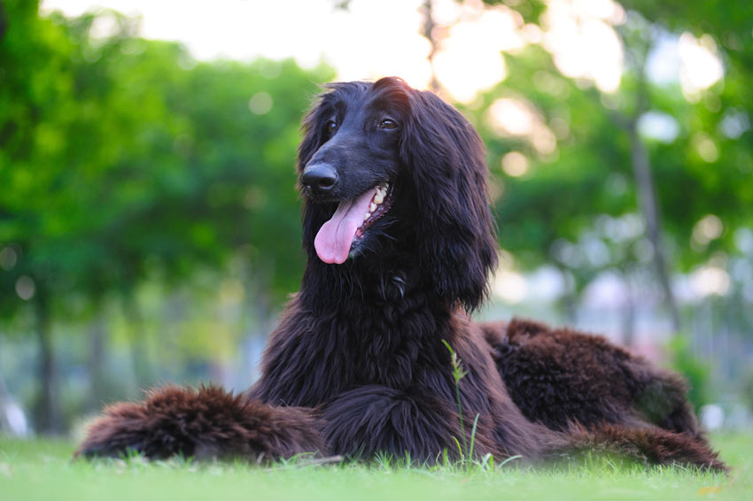 A beautiful black coated Afghan Hound lying down