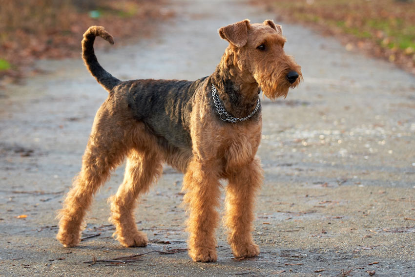 A beautiful wiry Airedale Terrier Medium Sized_Dog's tongue out