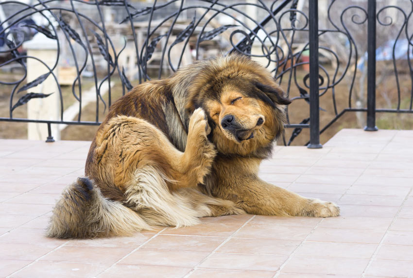 How To Check Your Dog For Fleas | General Dog Health Care | Dogs ...