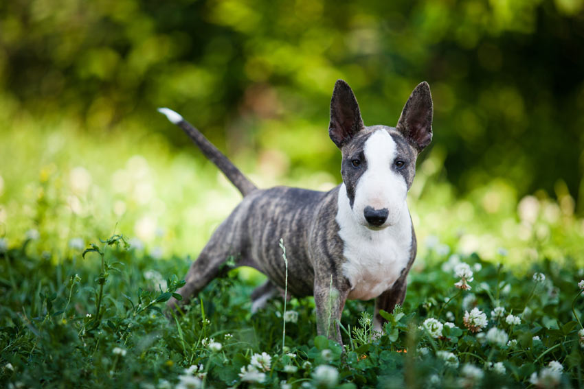 bull terrier hypoallergenic which dog coat type is best for you choosing the right 1090