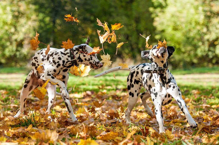 Two lovely pedigree Dalmatians playing in the Autumn leaves