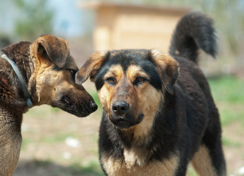 Mongrol Dogs Large Images