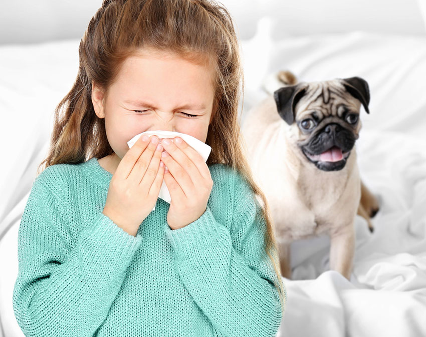 Dog allergy girl sneezing pug smiling
