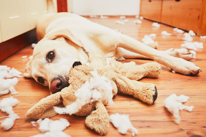 Dog destroys toy Labrador eats plush toy