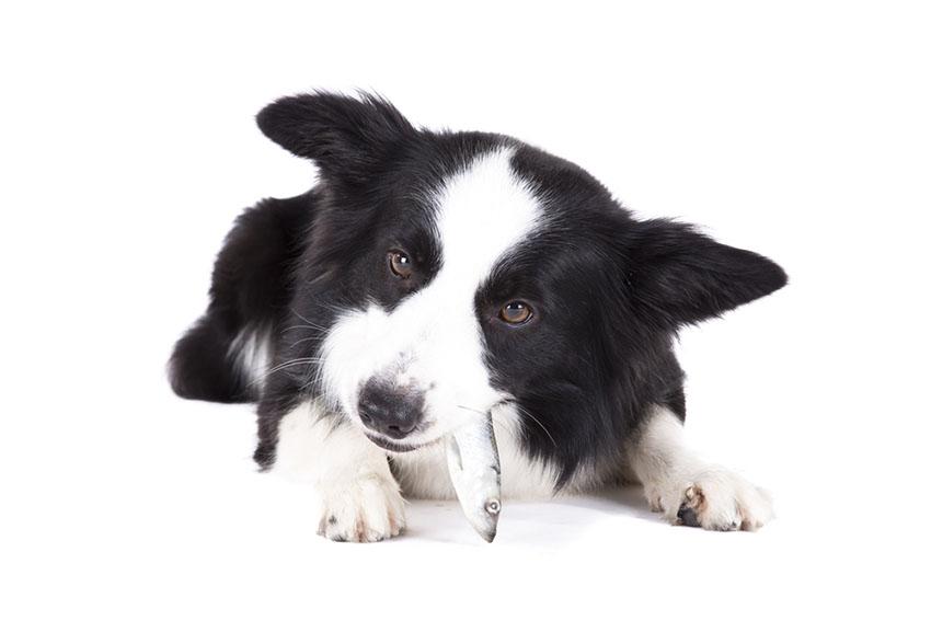 Dog eats fish Border Collie enjoys herring