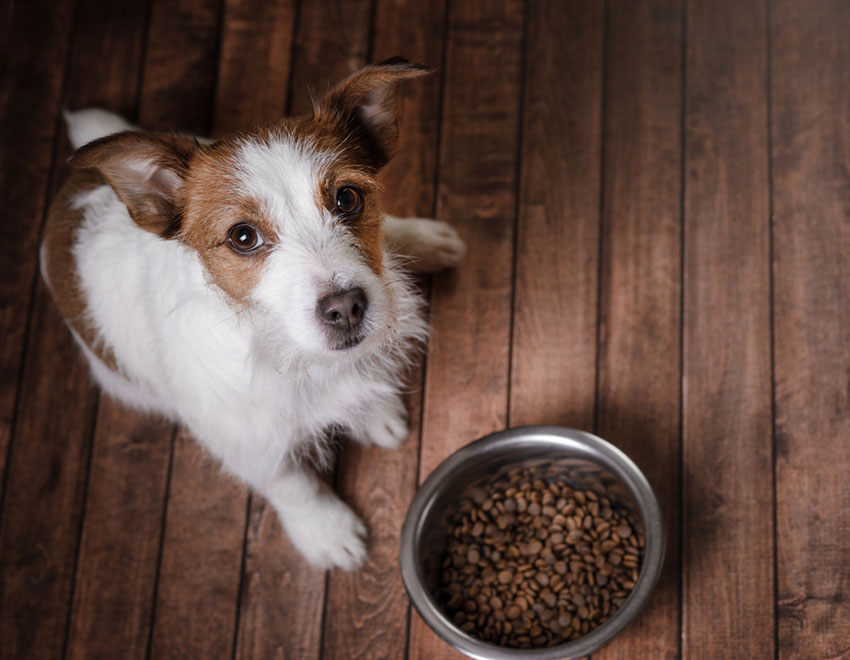 Dog food Jack Russell with bowl of dry food