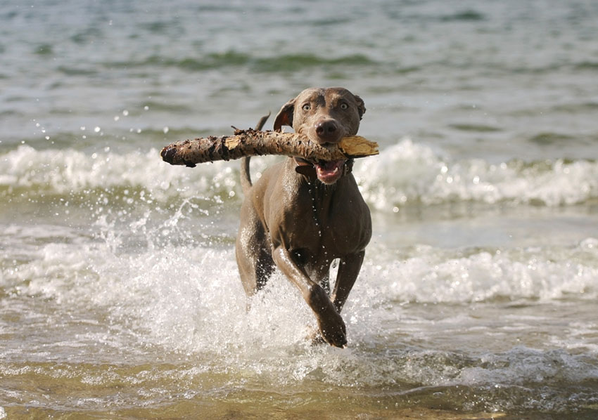 The sea holds no fears for this dog on a mission with a big stick
