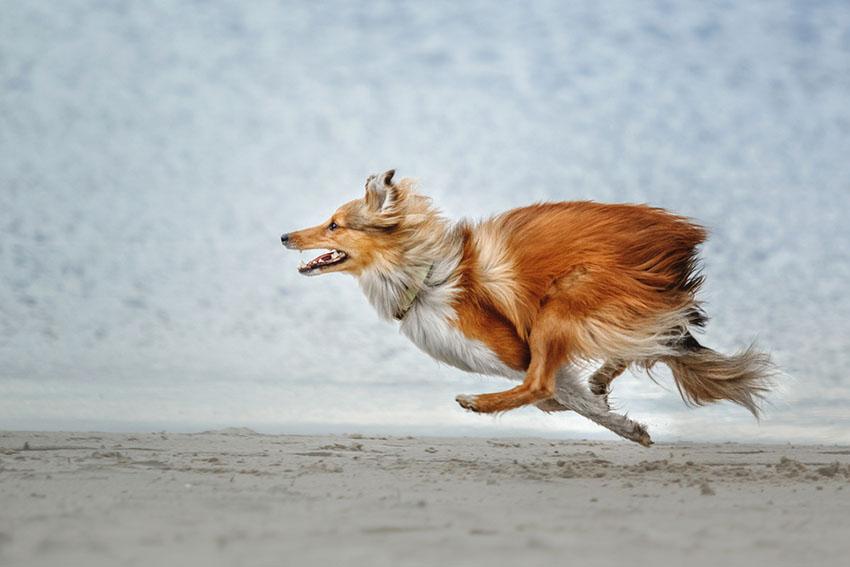 Dog running Shetland sheepdog
