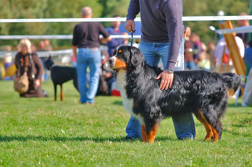 Dog show Bernese mountain dog