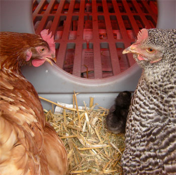Roosting Bars and Nesting Box of the Eglu Cube chicken house.