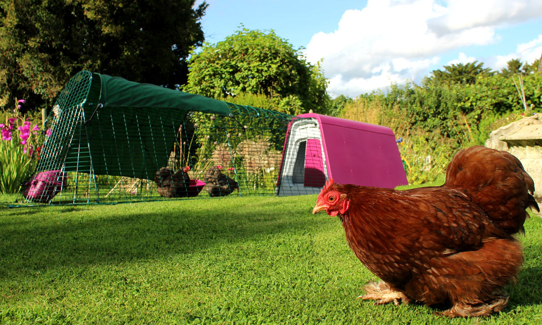 A purple Eglu Go Chicken Coop looks great in the garden and your chickens will absolutely love it