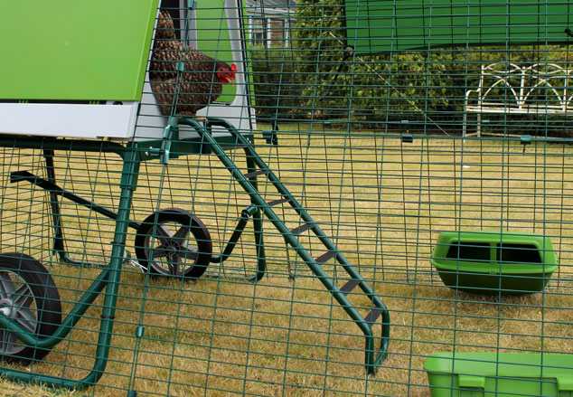 Chicken using the ladder to enter the Eglu Go UP chicken house.