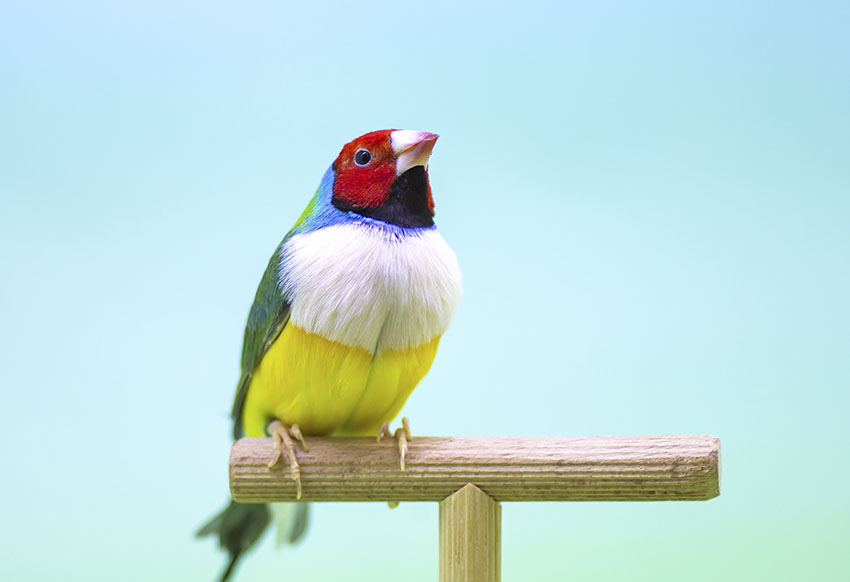 Gouldian finch on a perch