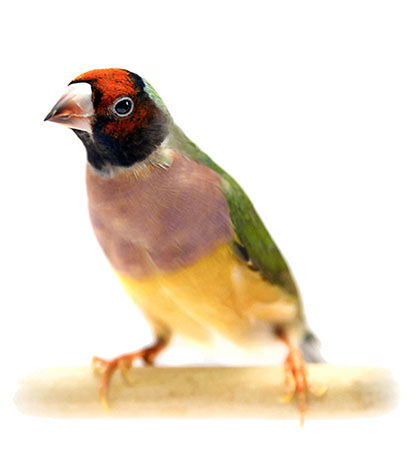 Gouldian finch with pink breast