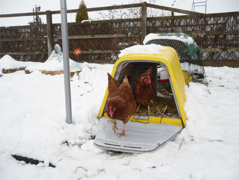 A Yellow Eglu Go keeping chickens snug in the snow.