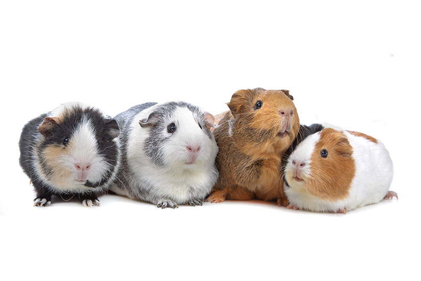 Guinea pigs are popular pets