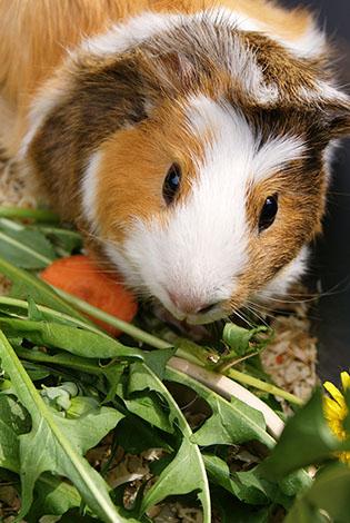 Guinea pig eating dandelion