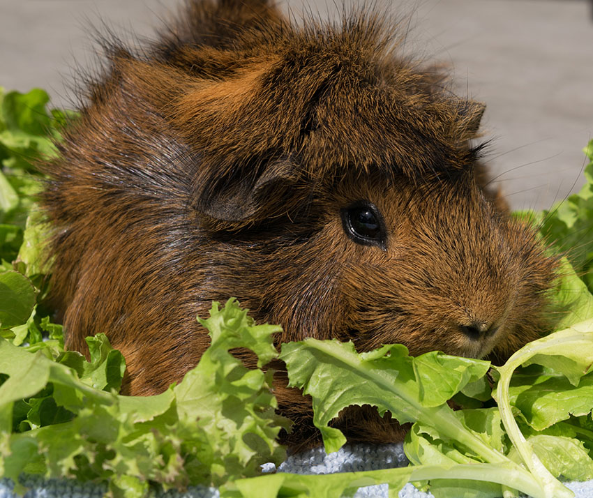 Guinea pig with lettuce