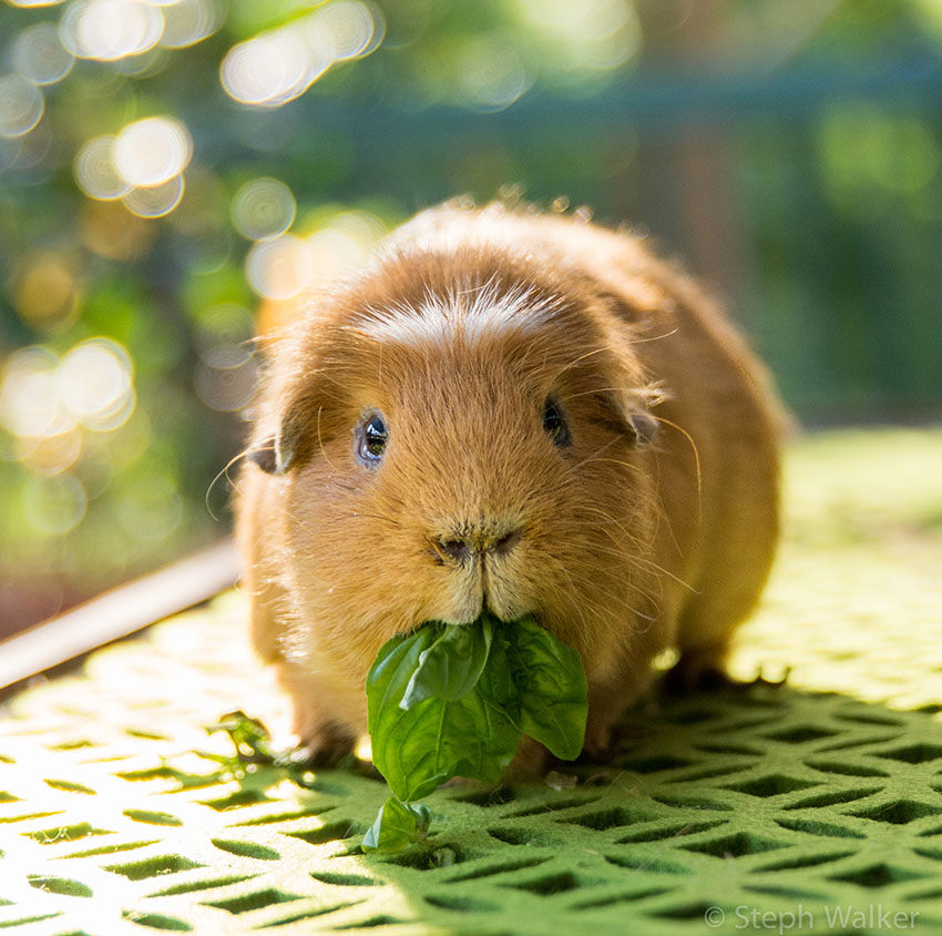 How Much Do Guinea Pigs Cost To Take Care Of?