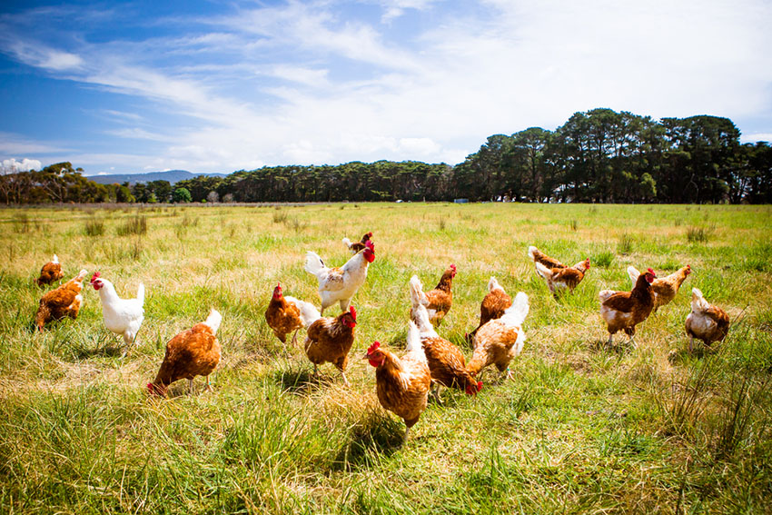 Leghorn and Red Star chickens freerange