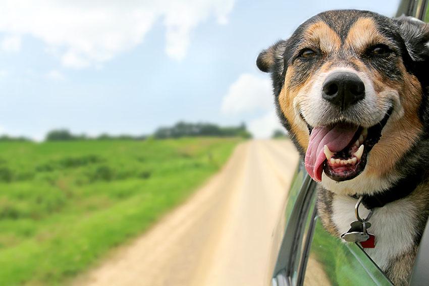 Mixed breed dog enjoying car ride