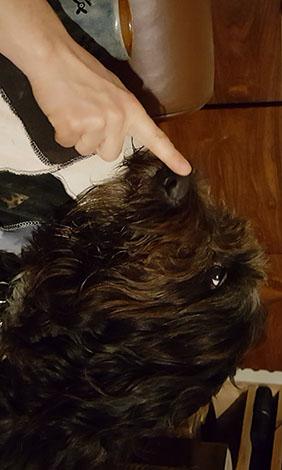 Mixed breed dog nose golden retriever old english sheepdog mix