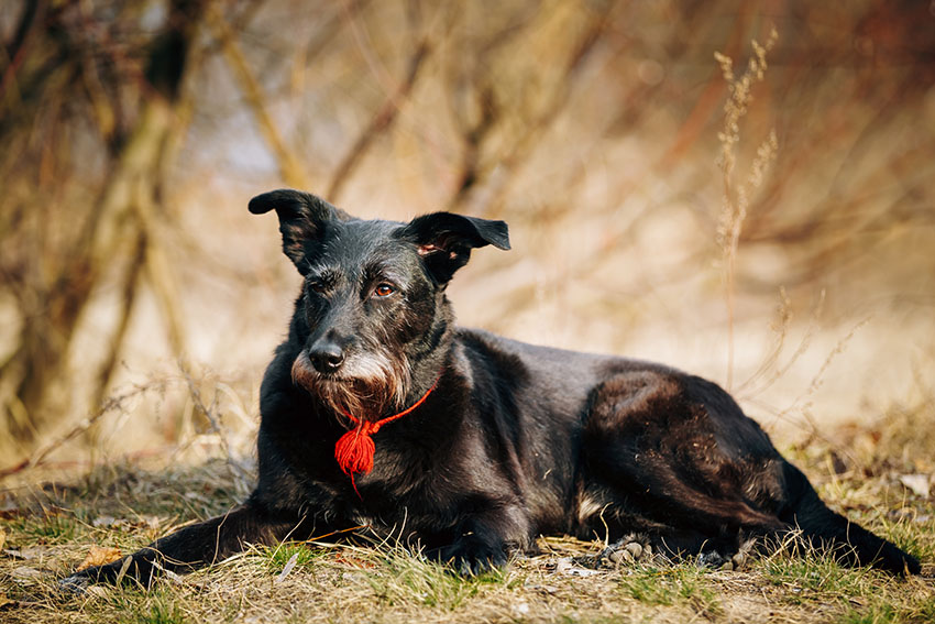 Mixed breed old dog resting outdoors.jpg
