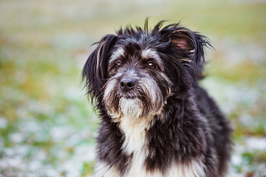 Mixed breed small dog terrier mix outdoors