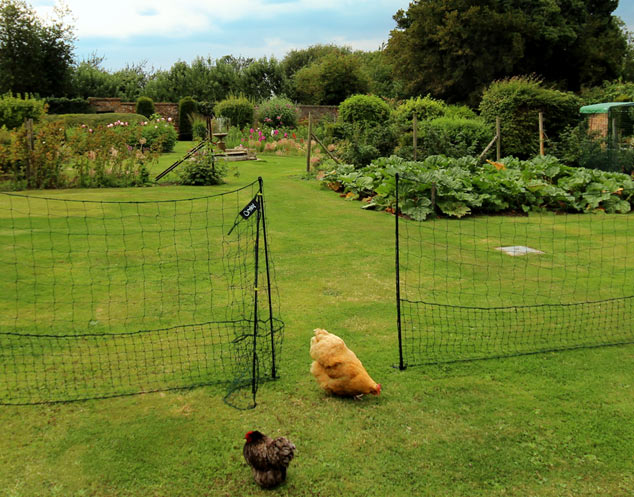 Chickens roaming within fenced off area.
