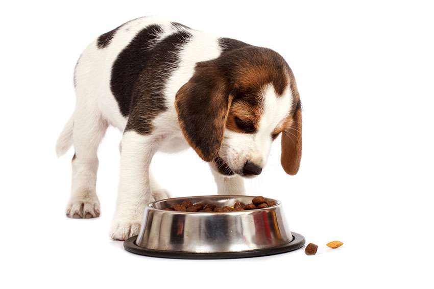 Puppy beagle eating food from bowl