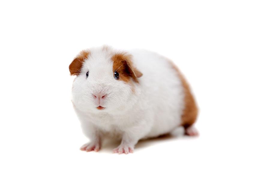 Resultado de imagem para guinea pig