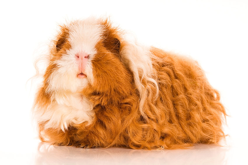 Guinea pig varieties choosing a guinea pig guinea pigs guide texel guinea pig sciox Gallery