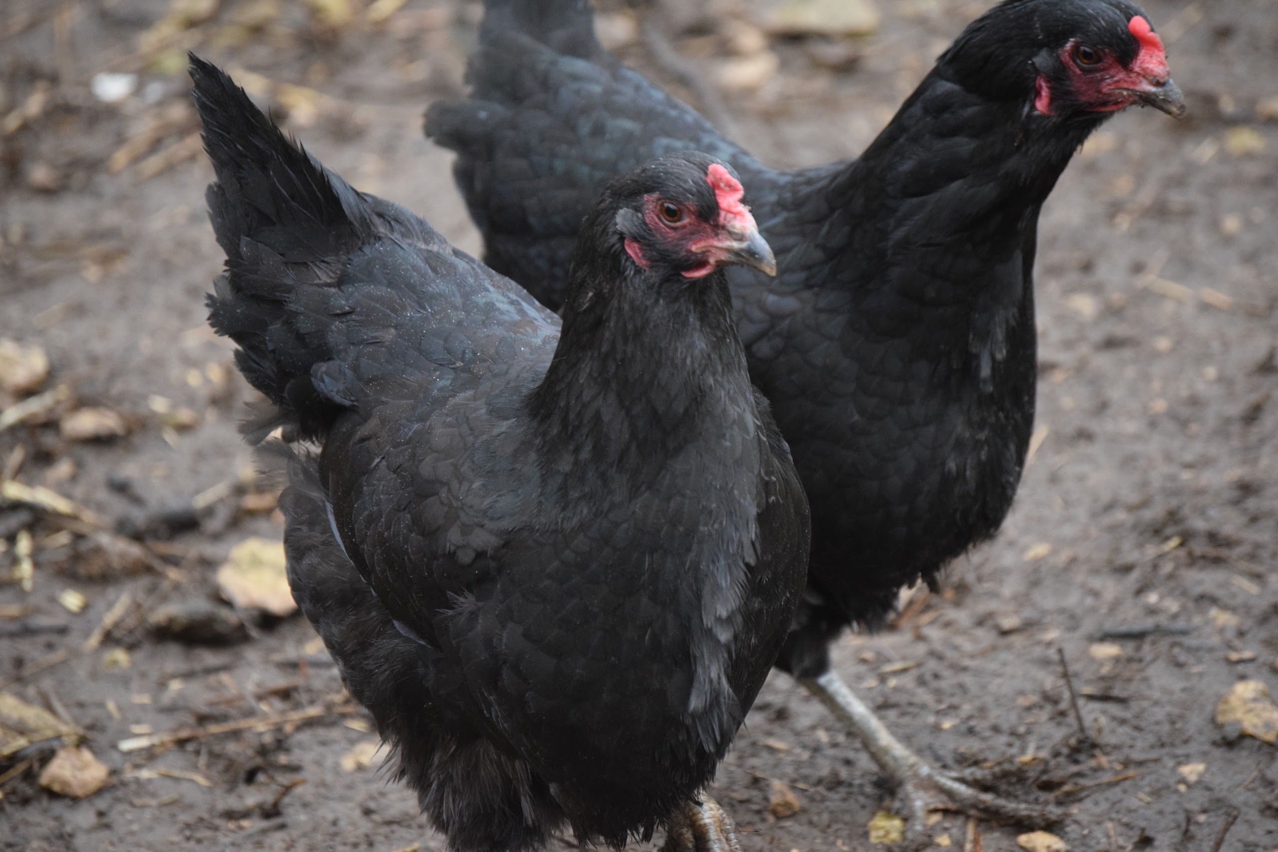 Lavender Araucana Large Fowl Chickens For Sale