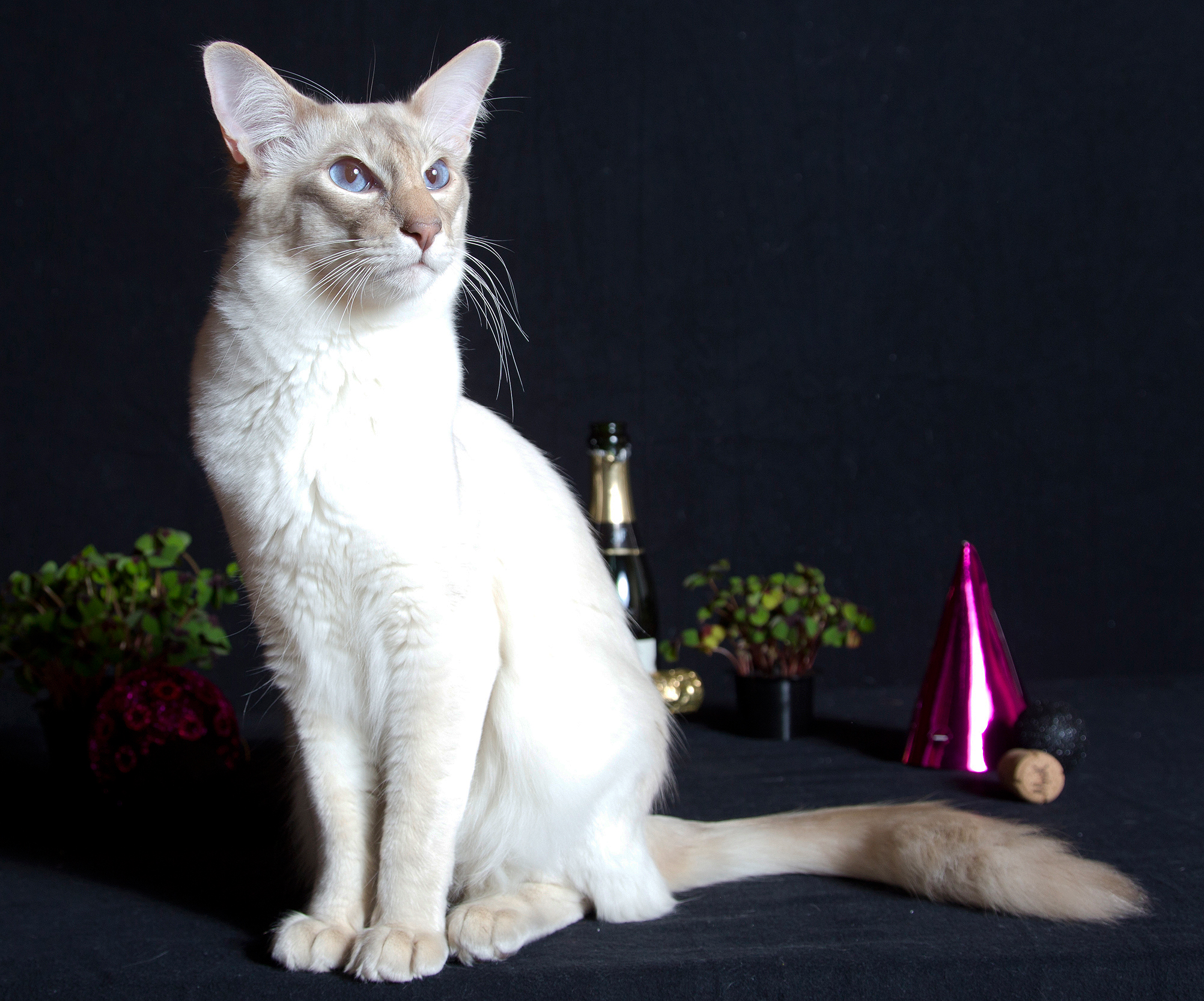 Balinese Cats Breed Information Omlet