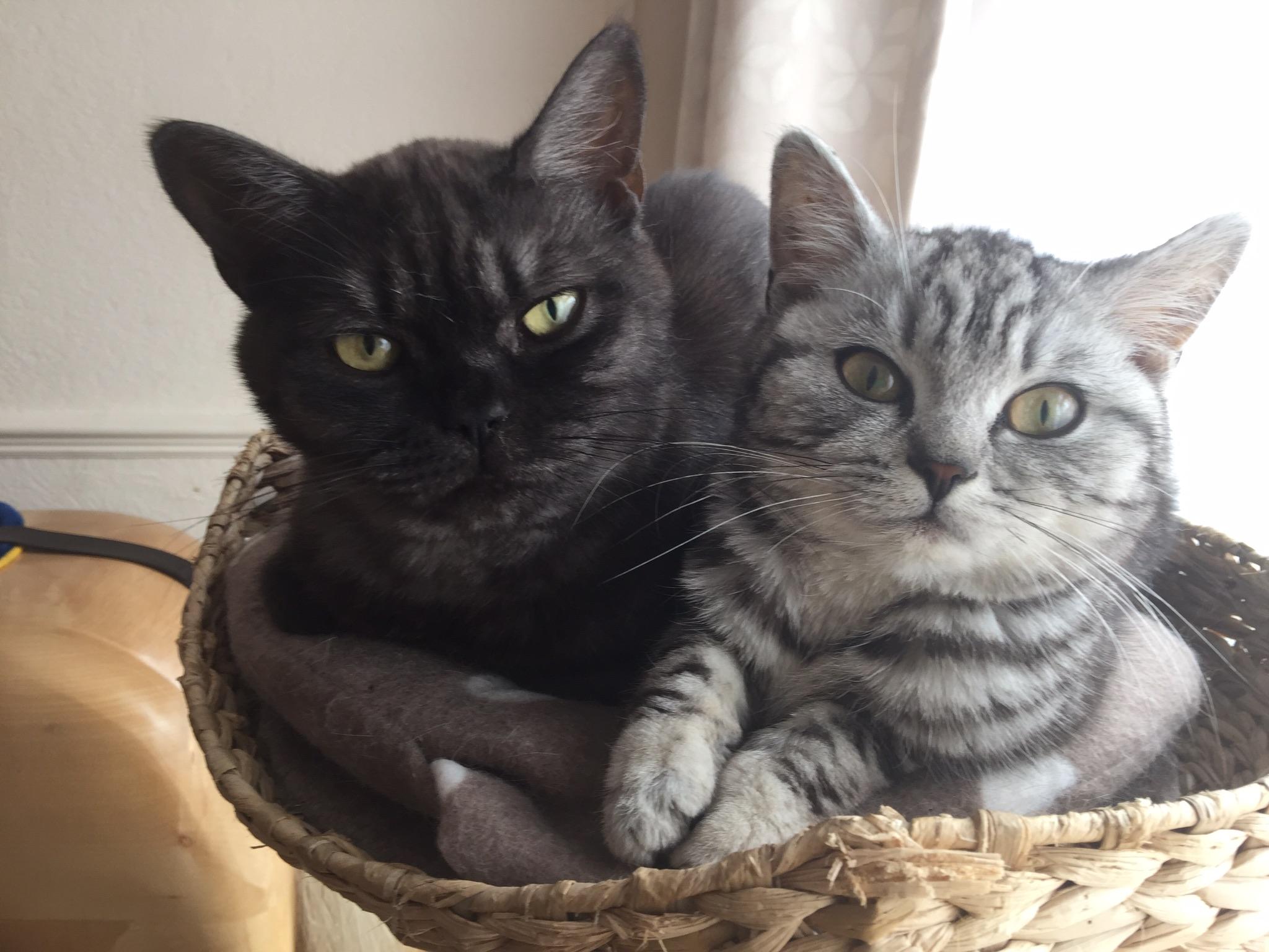 british shorthair tabby cats breed information omlet