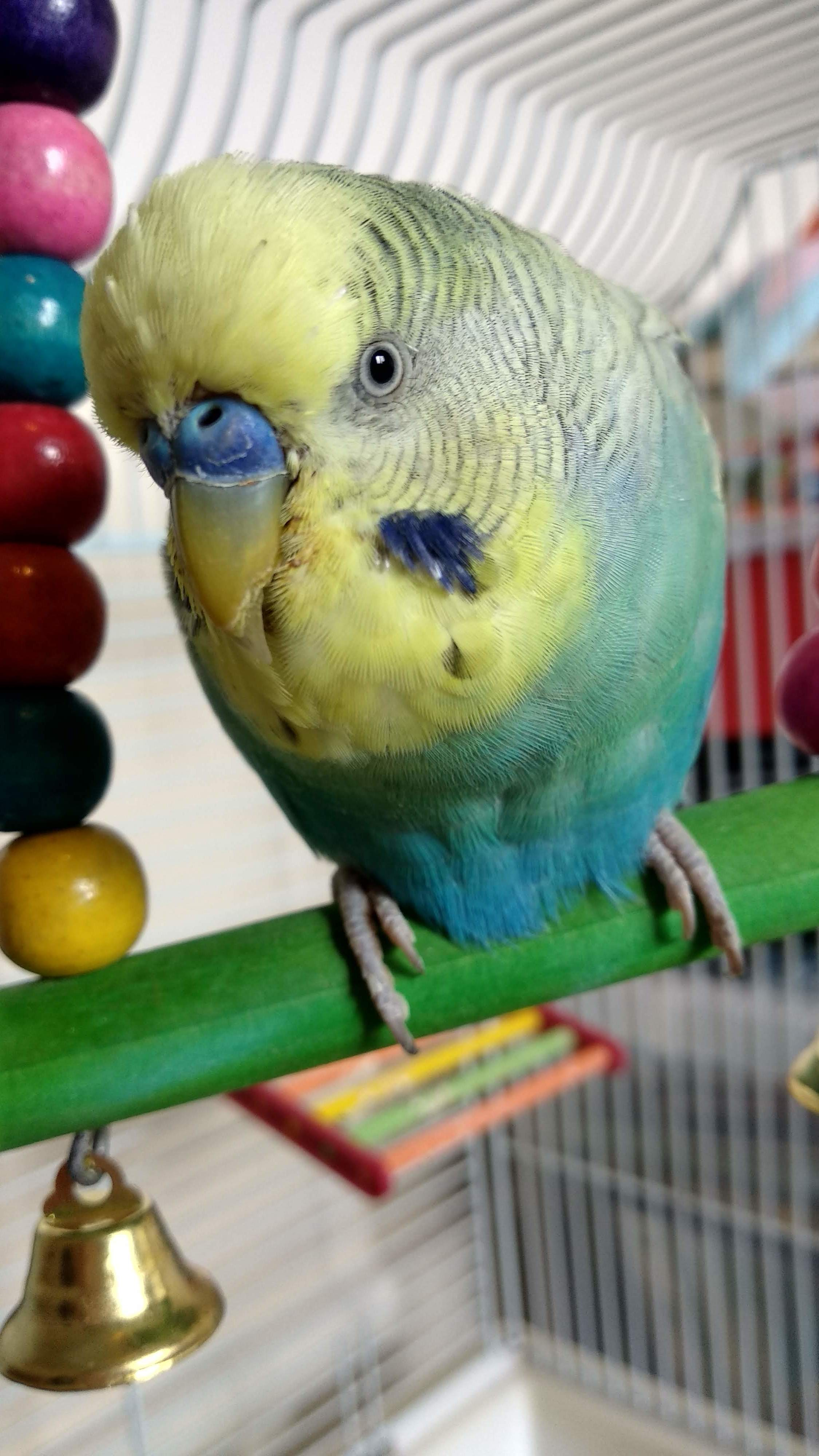 Budgie Moulting | Budgie Behaviour | Budgie Guide | Guide