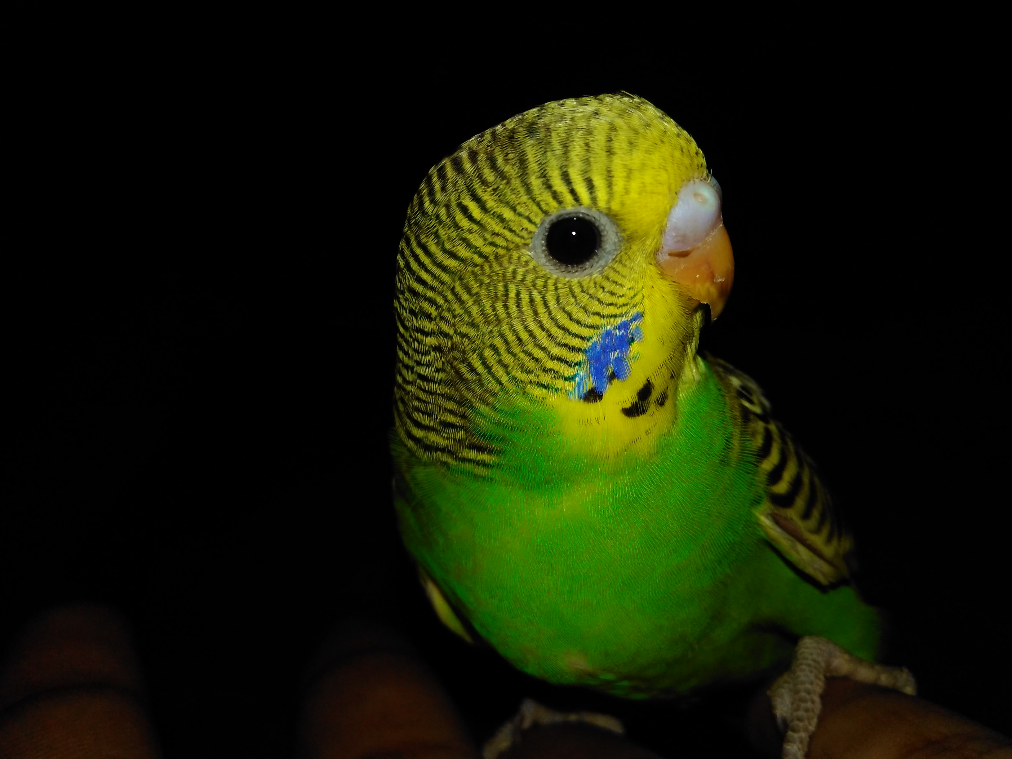 Cleaning Budgies | Health Problems | Budgie Guide | Guide