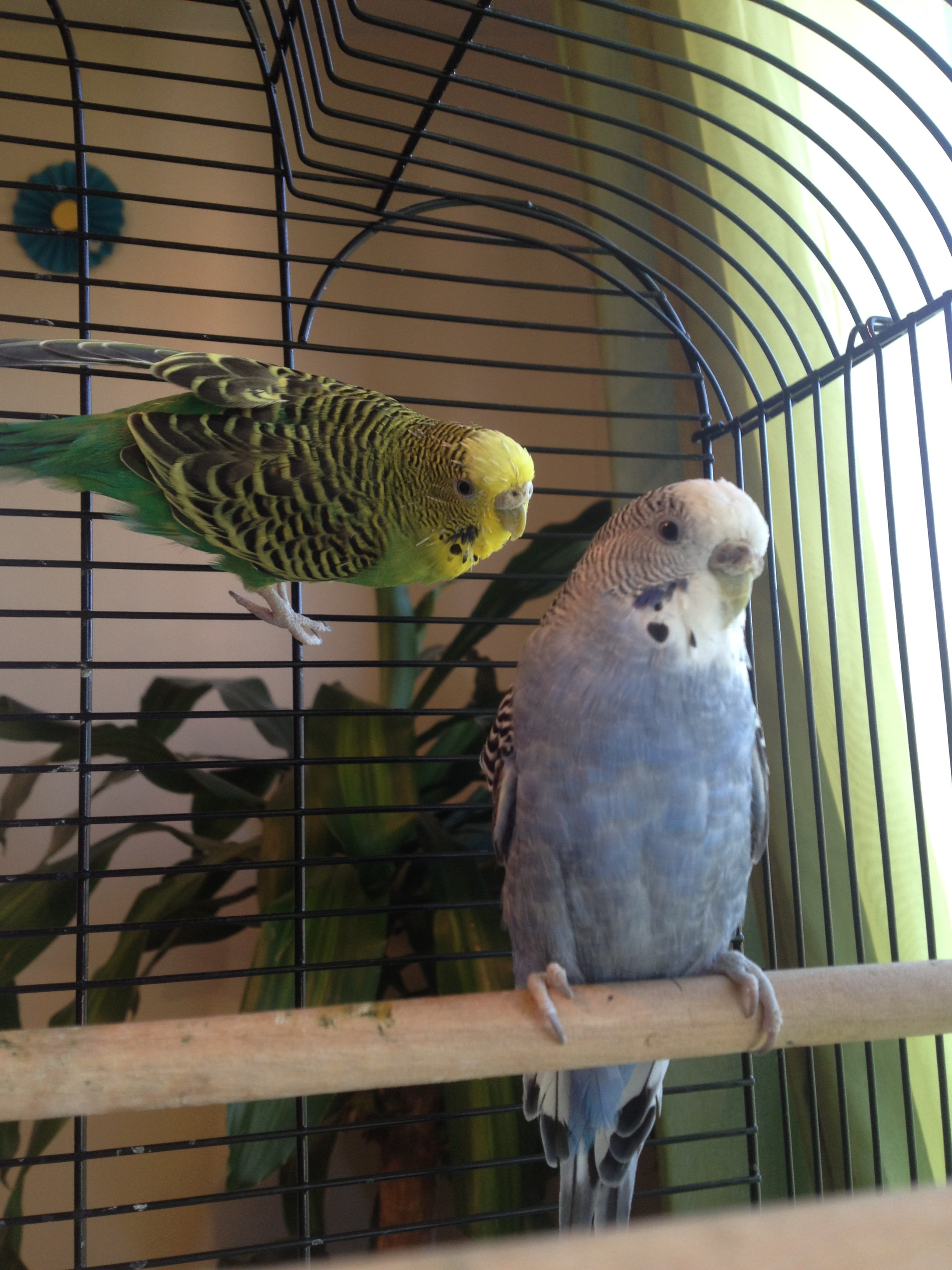 Budgie Diseases | Health Problems | Budgie Guide | Guide | Omlet UK