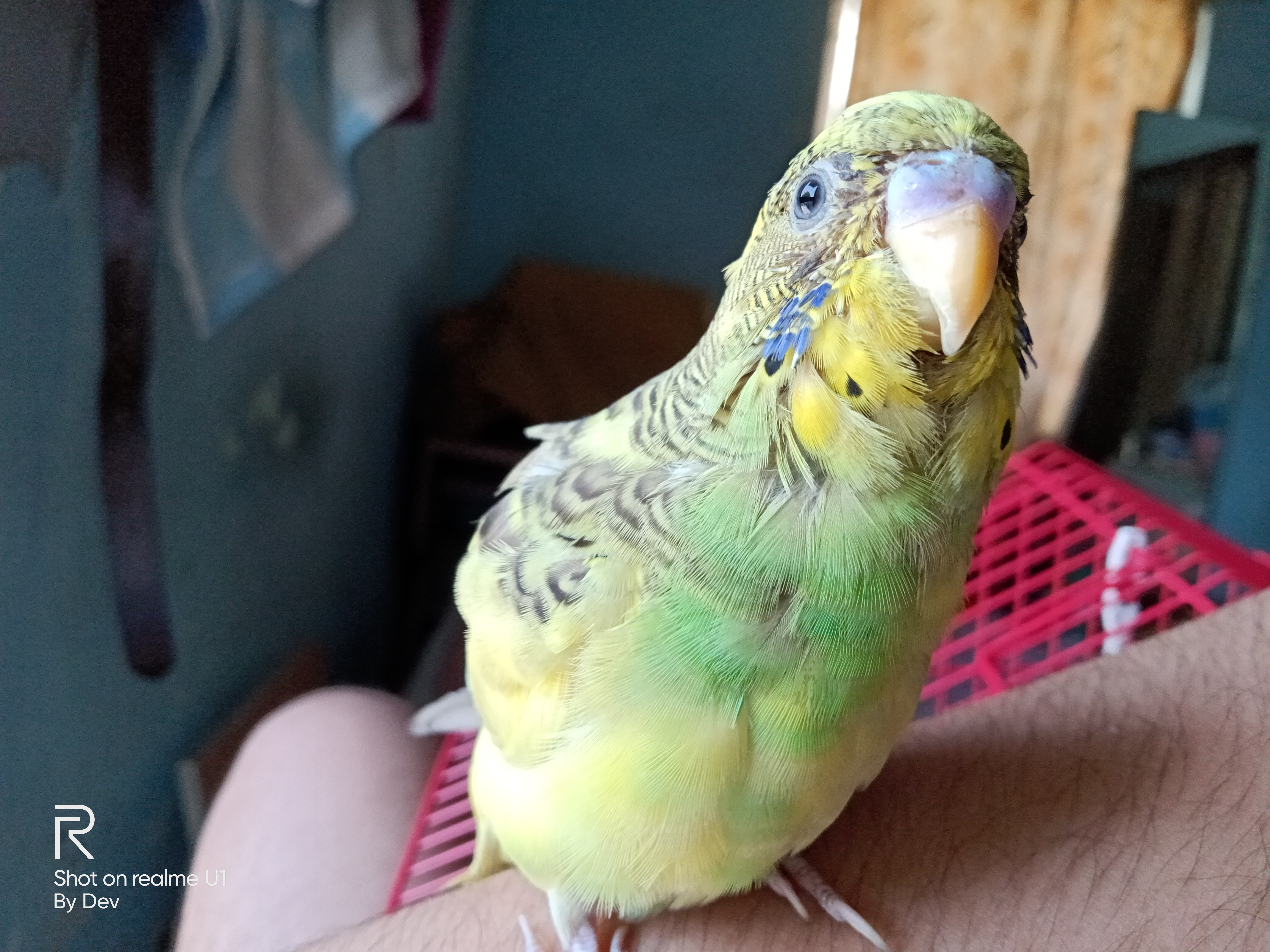 Budgie Feather Problems | Health Problems | Budgie Guide
