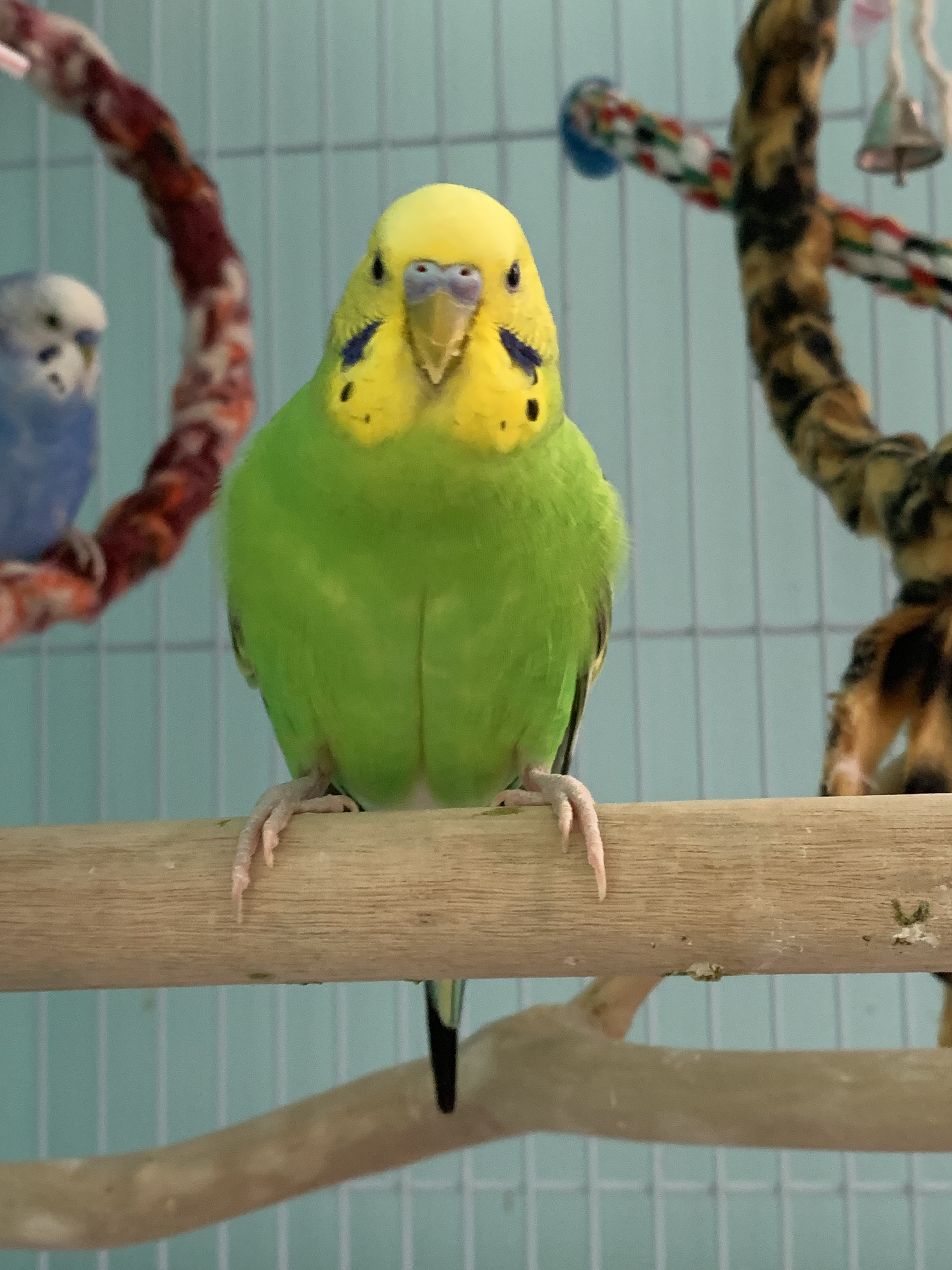 Introduction To Budgies | Budgie Guide | Guide | Omlet UK