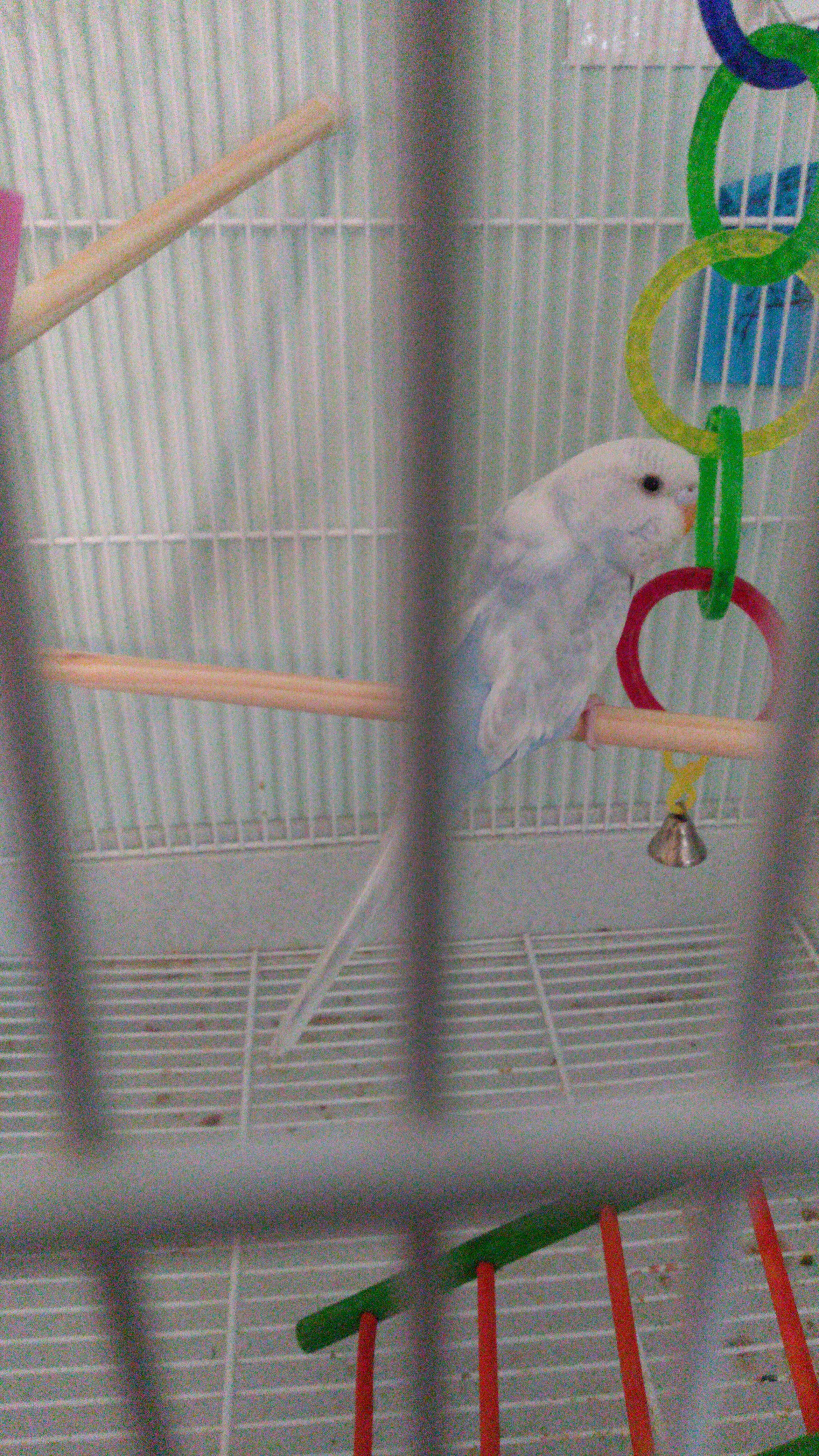 Budgie Colour Types | Varieties and Types | Budgie Guide | Guide