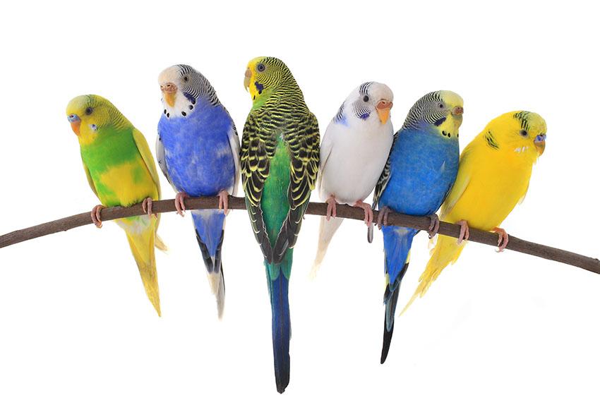 parakeet colors - photo #18